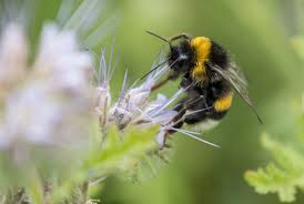 Could it bee? Drastic drop in bumblebee population shocks scientists