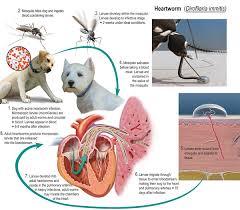 Canine Parasite Egg Identification Chart Intestinal Parasites Shih Tzus By Elaine