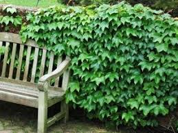 'Boston Ivy' is a fast growing vine for walls, fences and more!