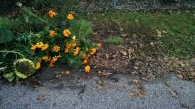 fall photo essay sightline here we have some dying flowers next to fallen leaves marigolds are so bright