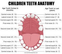 Pediatric Tooth Chart Klein Family Dental