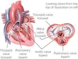 Cardiac Anatomy Chart Heart Valves Yourheartvalve