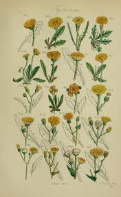 antique botanical print by james sowerby 1876 hand coloured engraving yellow hawkbit hawkweed