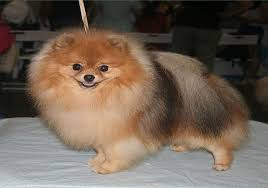 Teacup Pomeranian Dog 12 Things You Need To Know About The