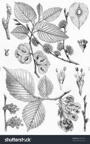 vine drawing representing elm tree leafs seeds and branches picture from meyers lexicon books collection written in german age published in