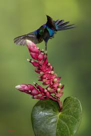 Image result for hummingbirds in vilcabamba