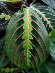 how to grow prayer plants prayer plant propagation gardening know how