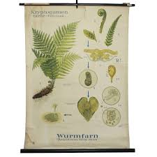 Antique Botanical Chart