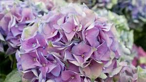 Hortensien schneiden im winter