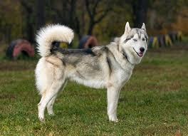 white husky wolf mix. Beautiful Wolf On White Husky Wolf Mix M