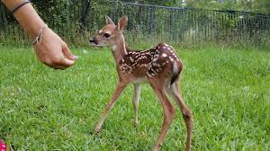 Most Funny and Cute <b>Baby Deer</b> Videos Compilation (2018 ...