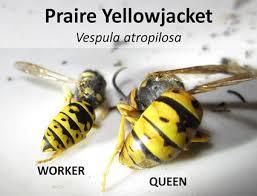Αποτέλεσμα εικόνας για yellow jacket queen trap