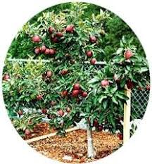 12 Fast Growing Vegetables And Fruit Trees For Your Home Garden Cherry Fruit Tree Care