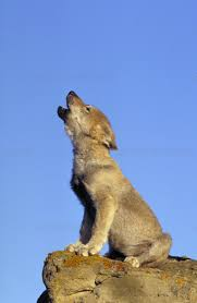 gray wolf pups howling. Contemporary Pups Gray Wolf Pup Howling To Wolf Pups Howling W