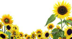 sunflower wallpapers full hd