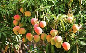Shedding Light On Fruit Drop  Stark Brou0027sLotus Fruit Tree