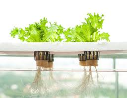 Hydroponic Kitchen Herb Garden Hydroponics Herb Garden Kitchen Before Planting In The