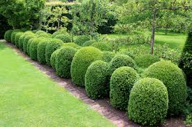 What Are Some Varieties Of Boxwood Hedges Home Guides