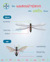 ความแตกต่างระหว่าง ปลวก กับ มดมีปีก