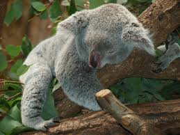 koalas are treehuggers because it s cool newshour