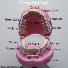 Jaw Chart Human Tooth Structure For Kids Types Of Teeth Structure