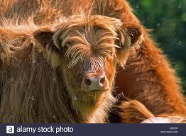 Light Livestock Animals Counter Light Livestock Bovine Scotland Young Animal