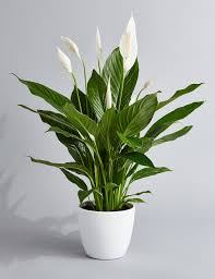 Light For Peace Lily Peace Lily Air Purifying Plant Easy Care Low Light