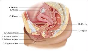 Female Reproductive System Chart Solved Label This Diagram Of The Female Reproductive System