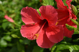 Hibiscus Flower Red - Free photo on Pixabay