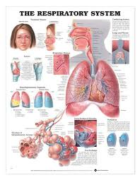 Anatomy Of The Heart Chart The Respiratory System Laminated Anatomical Chart