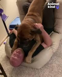 Giant mastiff thinks he's a lap dog ...
