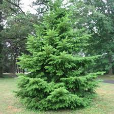 All Types Of Christmas TreesTypes Of Fir Christmas Trees