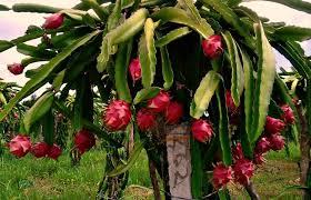 Dragon Fruit Growing On Tree Vietnam Stock Photo 546483790 Dragon Fruit On Tree