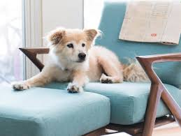 Dog friendly furniture Indoor Petfriendly Midcentury Modern Furniture Were In Digitmeco Petfriendly Midcentury Modern Furniture Were In Home