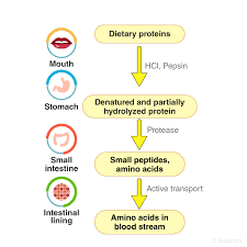 Digestion And Absorption Of Carbohydrates Proteins And Lipids