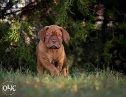<b>French Mastiff</b> | Pets - Accessories in Cairo | OLX Online Classifieds