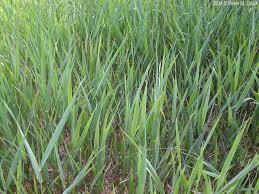Phalaris Arundinacea Reed Canary Grass Minnesota Wildflowers