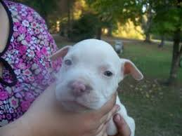white pitbull terrier puppies. Contemporary Terrier Blue Pitbull Pups 22778 Miles To White Pitbull Terrier Puppies M