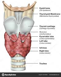 Thyroid Anatomy Anatomy Thyroid Gland Medical Vector Illustration Stock