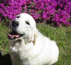 white golden retriever puppies for sale. Brilliant Puppies Flower Inside White Golden Retriever Puppies For Sale H