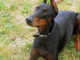 Doberman Weight Chart How Much Exercise Does A Doberman Need Barkercise