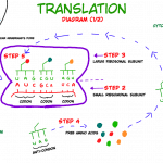 Venn Diagram Of Transcription And Translation Diagram Of Translation Labeled And Transcription Replication