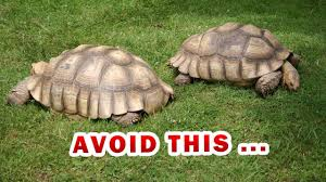 The Ultimate Sulcata Spurred Tortoise Food List Diet