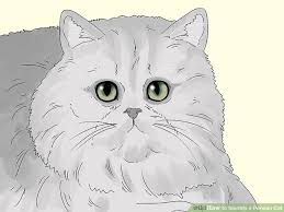 Cat Body Shape Chart 3 Ways To Identify A Persian Cat Wikihow