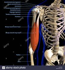 Labeled Anatomy Chart Of Male Biceps Muscle And Shoulder