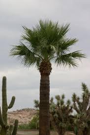 fan palm trees. a fan palm trees f