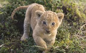 baby animals wallpapers. Delighful Animals Animals Mara African Lions Kenya Baby Wallpaper In Baby Animals Wallpapers A