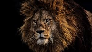 lion wallpaper hd widescreen. Brilliant Widescreen Preview Wallpaper Lion Mane Predator King Of Beasts Muzzle In Lion Wallpaper Hd Widescreen F
