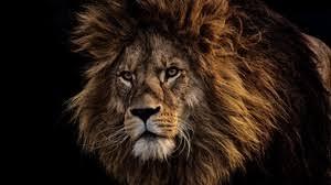 preview wallpaper lion mane predator king of beasts muzzle