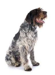 5 wirehaired pointing griffon